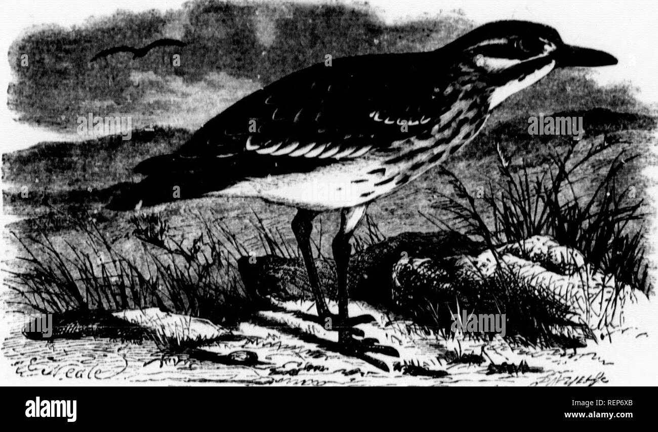 """. The illustrated natural history [microform]. Birds; Natural history; Oiseaux; Sciences naturelles. IIW^J. CiUKAT PLOVER. OH TIIICKKNEE.-'audVnoH,,., crf;,((a,"""". 