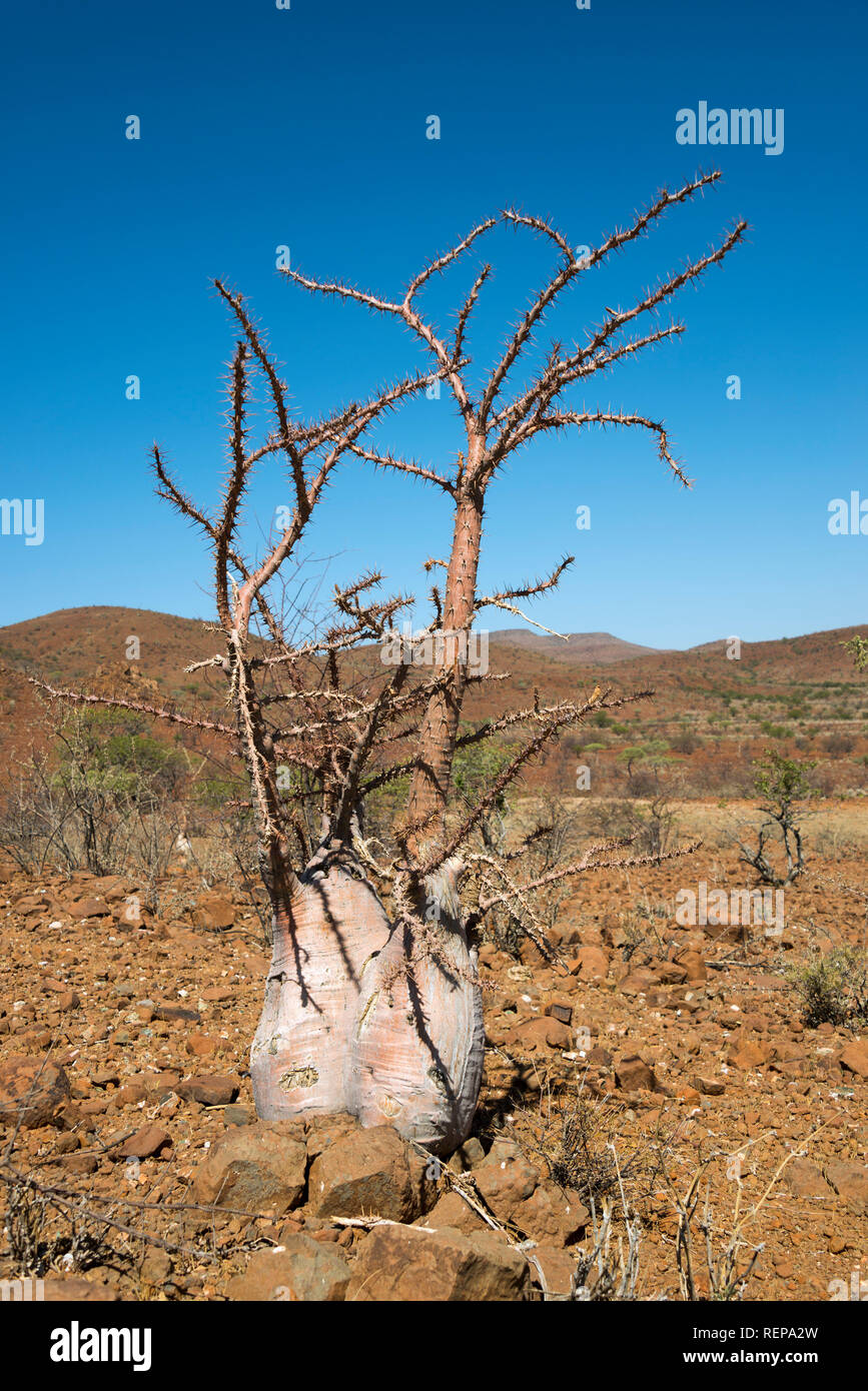 Bottle Tree, Damaraland, Namibia, (Pachypodium lealii) - Stock Image