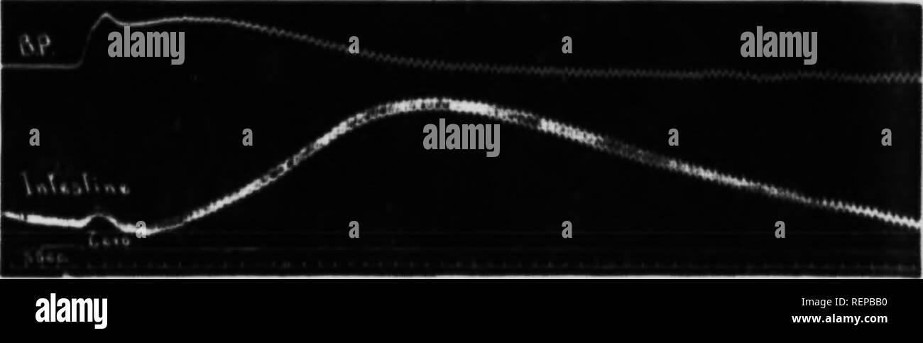 . Vascular changes produced by adrenalin in vertebrates [microform]. Adrenaline; Vertebrates; Blood-vessels; Adrénaline; Vertébrés; Vaisseaux sanguins. 1.12 ADRKNAMN FN VFRTRHRATKS the linih HoiiH-tiiiH'H rt'siiltcd fmm dÂ«'pre»«or dnsr rniistrii'tioti (Vt. f») or constriftimi nnd diljitntin ( Kijf. !'â¢) occurred in tlu' intextino deiKMulinj; ii|».. Fia. 10 KIlHliitlon of thr Inlrpitinc iinnlin nl l>t n 3 . lin.oofl iKlran tilt' anioiiiit of jiflrciialiii injected. Just as in cats aini dogH. RODENTIA A reason already driven that the cat and the th- have heen considered possihiy ex - Stock Image