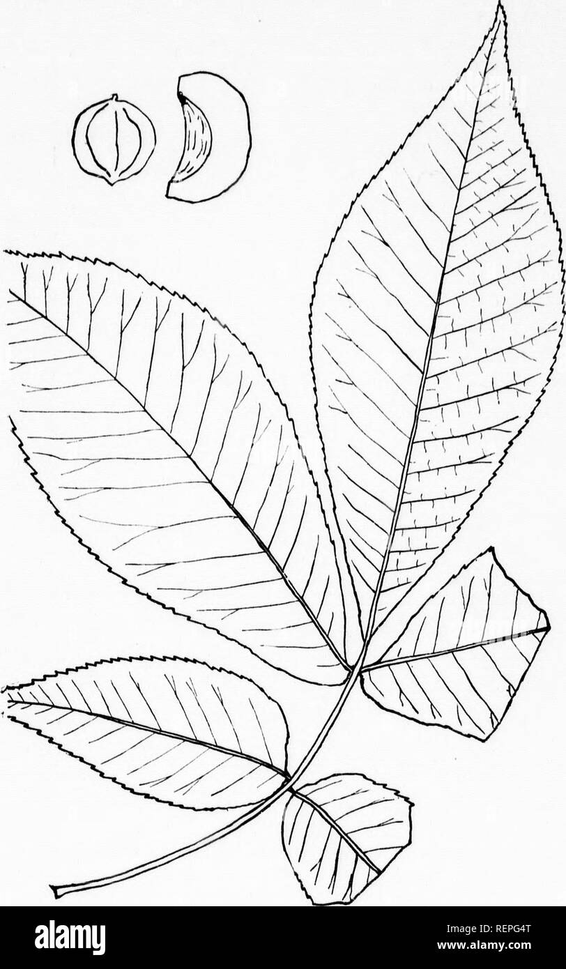 . The trees of Northeastern America [microform] : illustrations from original sketches. Trees; Leaves; Arbres; Feuilles. m ao7 Fig. 104.—Shag-bark. H. ovata (Mill), Britton. LEAF A.ND FRUIT REDl.'npn ONE THIRD.. Please note that these images are extracted from scanned page images that may have been digitally enhanced for readability - coloration and appearance of these illustrations may not perfectly resemble the original work.. Newhall, Charles S. (Charles Stedman), 1842-1935. New York; London : G. P. Putnam's Sons - Stock Image