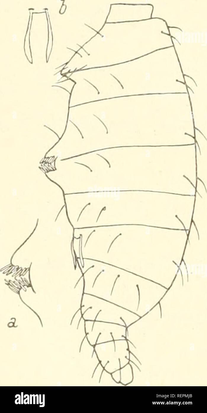 . Dr. H. G. Bronn's Klassen und Ordnungen des Thier-Reichs : wissenschaftlich dargestellt in Wort und Bild. Zoology; Mollusks; Arthropoda; Insects. 694 Palpigradi. 13. Koenenia hanseni Silvestri 1913 S. 214. nur $ — Mexico: Jalapa. 14. Koenenia florenciae Rucker 1903 8. 215 und 217. $ und pull. — Nord-Texas: Boham. 15. Koenenia buxtoni Berland 1914 S. 375. nur $ — Eingeschleppt in die Treibhäuser des Mus. Hist. Nat. Paris. Eine unsichere Art, die aber ihres Fundortes wegen aufgeführt werden muß, beschreibt (ohne die Art zu benennen) Hansen 1926 S. 178 als nicht erwachsenes und daher im Verglei - Stock Image