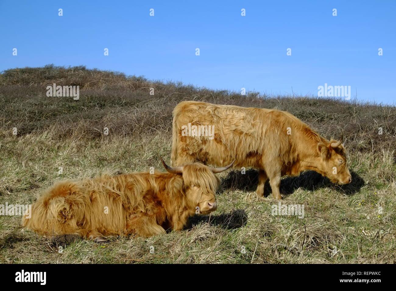 Highland cattle (Bos taurus) sleeping or grazing on National Trust coastal land. Bolberry Down, South Hams, Devon. UK - Stock Image
