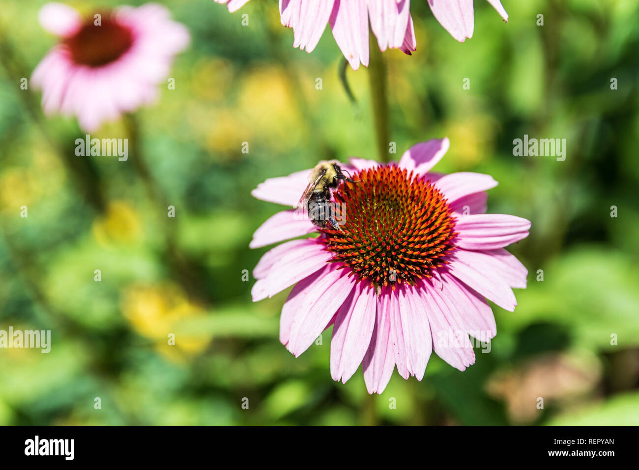A pink-purple cone flower (Echinacea purpurea) with a bumblebee feeding on it. - Stock Image