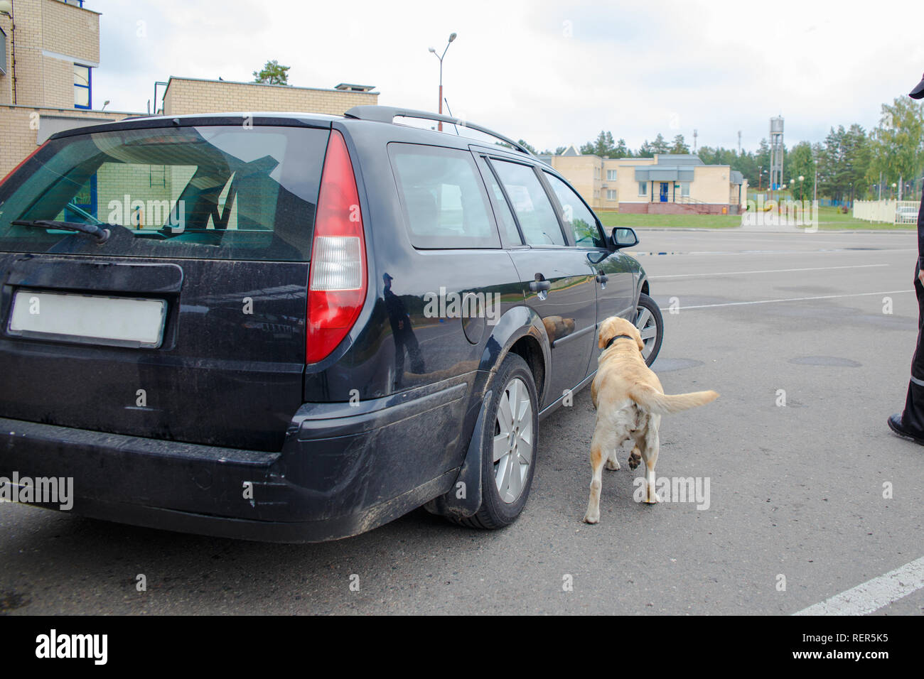 Labrador retriever Customs dog looking for items prohibited for transfer through the border Stock Photo