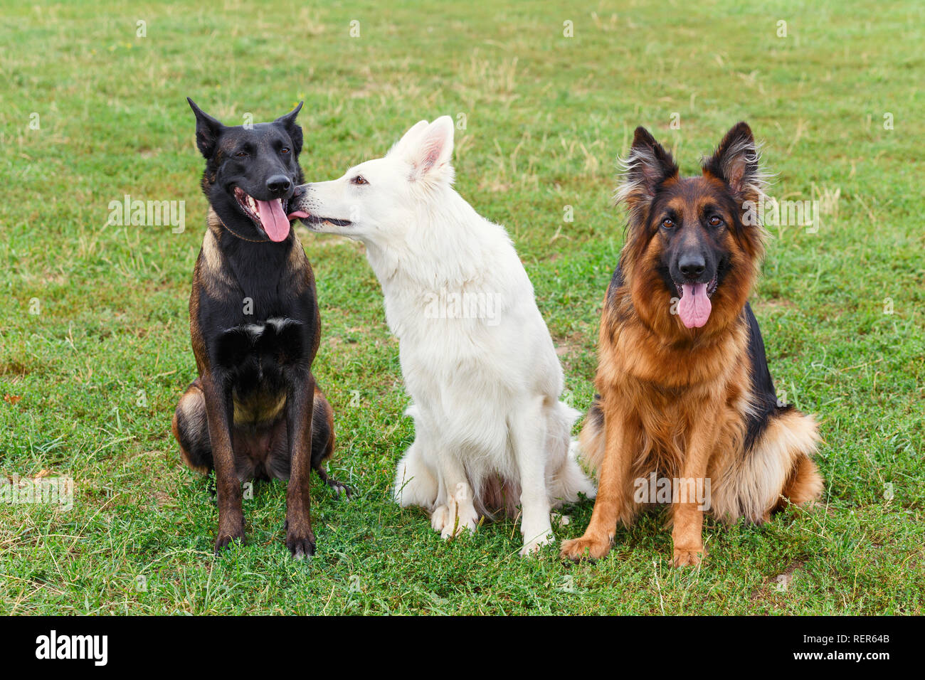 Dogs sitting on the lawn and depict a love triangle - Stock Image