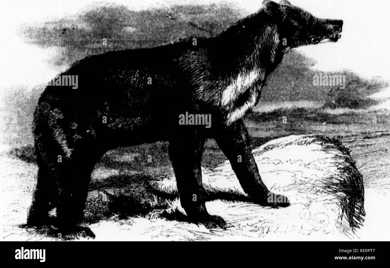 """. The illustrated natural history [microform]. Mammals; Natural history; Mammifères; Sciences naturelles. MAi.Al AN hUN-UKAH.ây/f'i""""''!'.' Moliiiitiun-: Til. fur of tl.is aiiimul is i^nticnhirly li.u- nvA olnssy, aiul tlir Inur is shorter tlian lu ,1,, nvncvalitv of the ]5eav tril.c Tlic ruUmv of its fur is a very drcp 1. ack, with t le ,v,r'ptioii of'a lavKc smii-luiiar sliaii.d patch of wl.itc on tho bivast, and n ydlowish- Â«liite imtcli on tla- snout and uppujav, ^^hUâ h alfovd a striking,' and curious con rast to ;;,; ,uufonnlv l.lack colour of the fur. Ti,.. li,>s and tongue of  - Stock Image"""