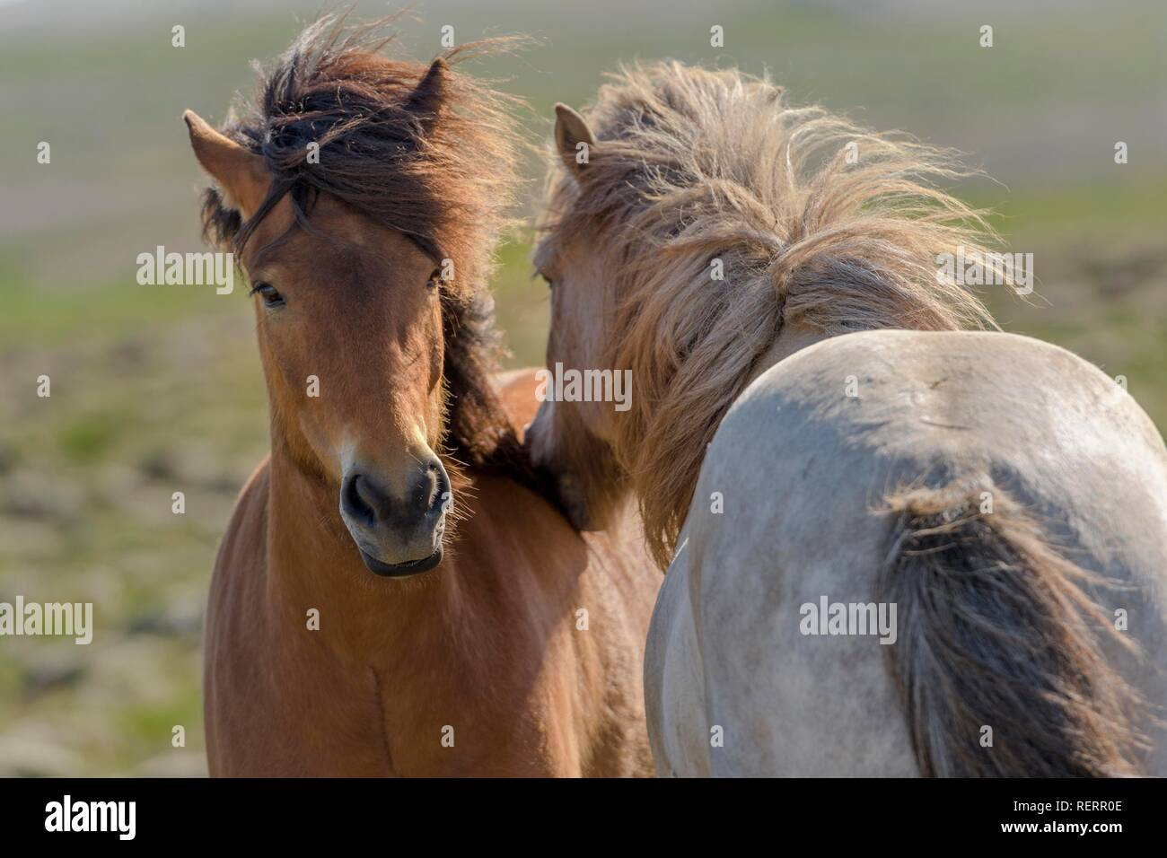 Two Icelandic horses, brown and white, grooming their fur on pasture, wind blowing in mane, Sauðárkrókur, Akrahreppur - Stock Image