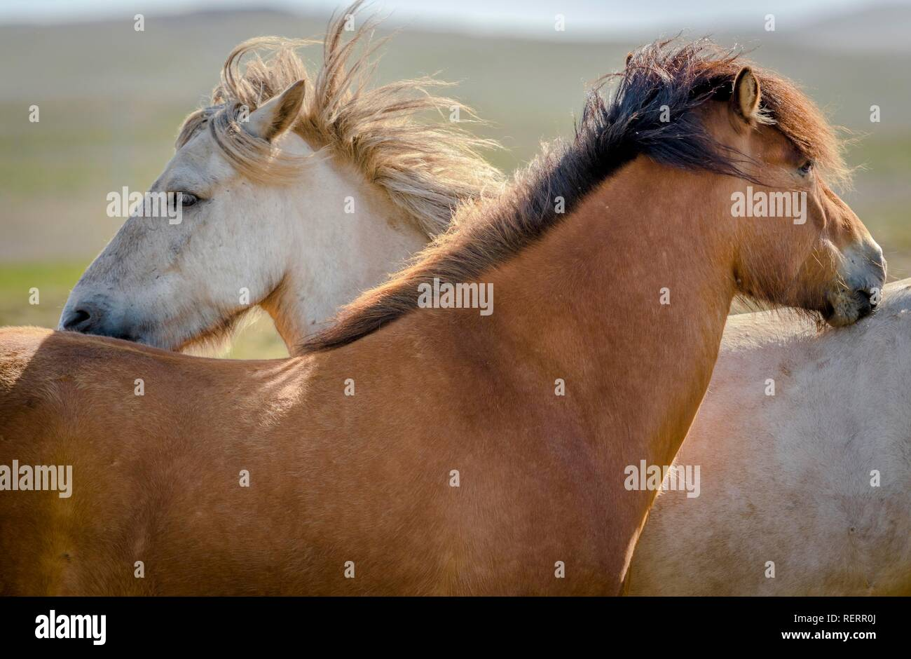 Two Icelandic horses, white and brown, grooming their fur on pasture, wind blowing in mane, Sauðárkrókur, Akrahreppur - Stock Image