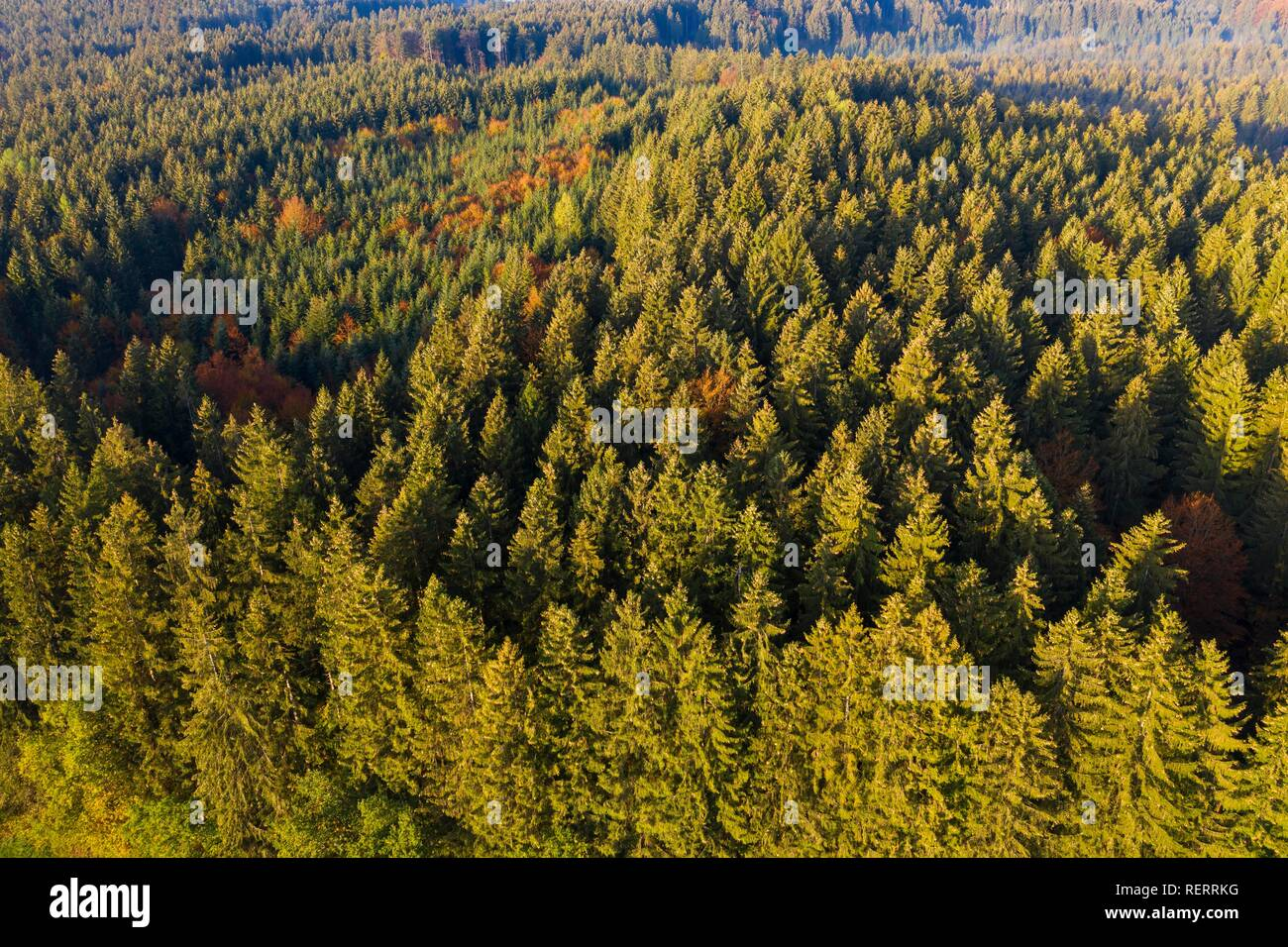 Spruce forest, near Dietramszell, drone view, Upper Bavaria, Bavaria, Germany - Stock Image