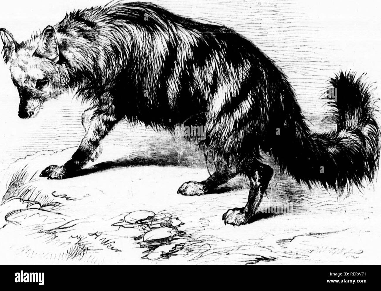 . The illustrated natural history [microform]. Mammals; Natural history; Mammifères; Sciences naturelles. iim 228 AARD WOLF. dog when it hns tlie bonutit uf similar troalinent. It has boon known to n<'( nnipany its master as familiarly as any dog, and to recognise him with airs of joy after a lengthened absence. The potency wluch some persons exert over iinimal natnres is most remarkable. It may be that such ]HTSons pour mneli love n]ion all things, and therefore upon the animals with which they come in contact. So love, creating love,—which is the highest gift of God, and the sum of his d - Stock Image