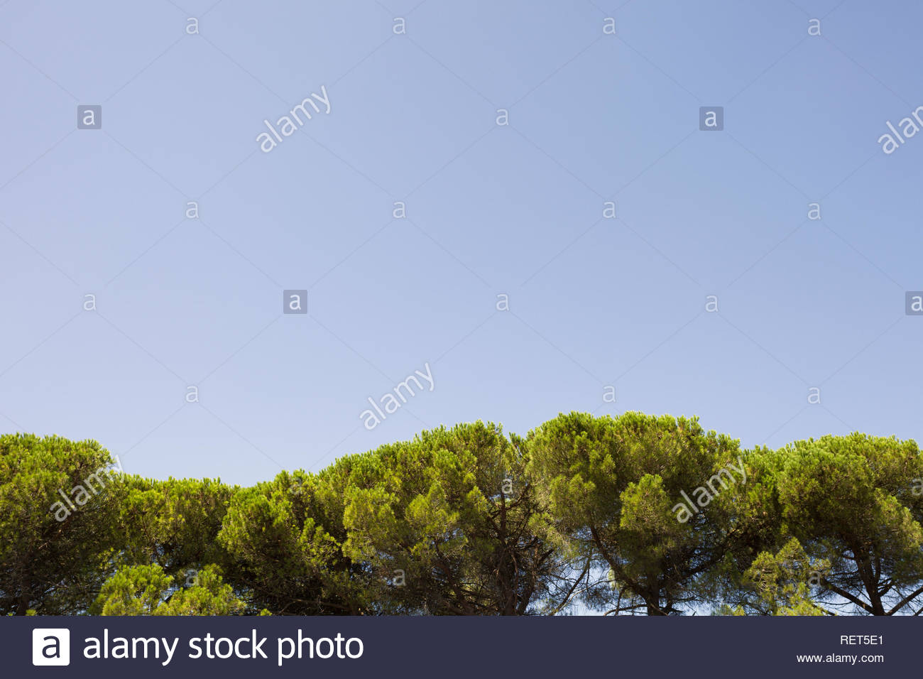 Tree tops resemble rolling hills set against a clear Tuscan summer's sky. - Stock Image