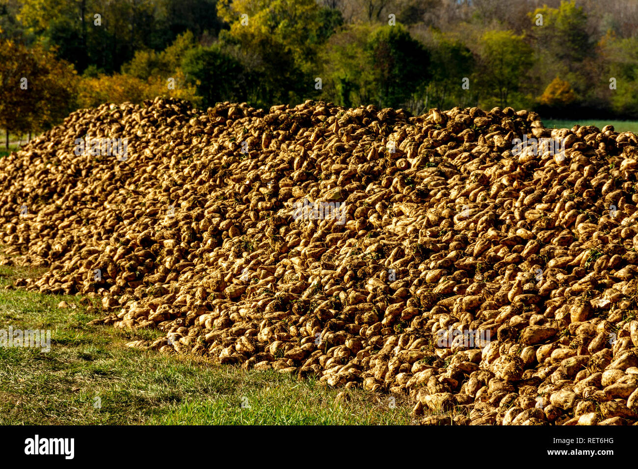 Pile of sugar beet newly harvested in a field, Auvergne, France - Stock Image