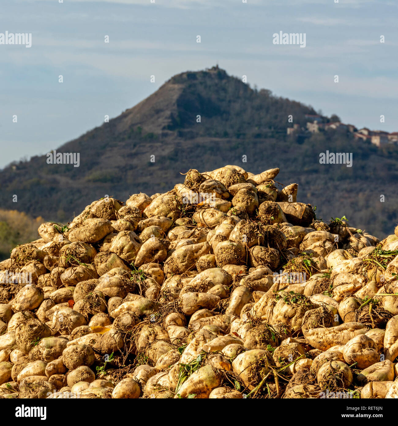 Pile of sugar beet newly harvested in a field, Auvergne, France Stock Photo
