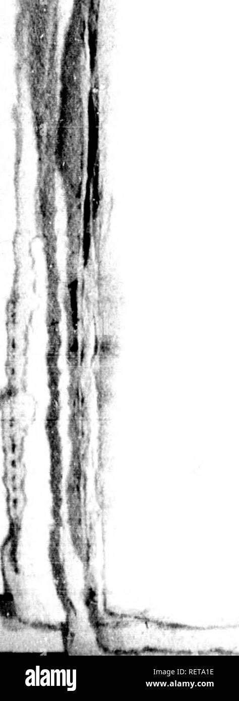 . Histoire naturelle des poissons avec les figures dessinées d'après nature [microforme]. Poissons; Fishes. 'I' Yl. 28 HISTOIRE NATURELLE Le genre des perce-pierres se divise en deux sous-genres , dont l'un porte une espèce de crête, et Tautre en est dépourvu. Parmi ,les espèces crêtces que Bloch n'a point décrites , on compte : La coquillade, hlennius ^alerîfa, dont la longueur n'excède pas cinq pouces, et qui habite notre océan : la crête de ce poisson est transversale , située sur la tête et formée par la peau. Il la re- dresse ou l'incline à volonté. Le pinaru, hlennius cri Stock Photo