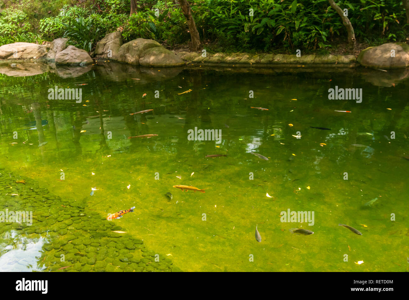 Colour abounds as beautiful fish swim in pond in Hong Kong park, affording travellers to China a place to enjoy in a peaceful, lovely setting. - Stock Image