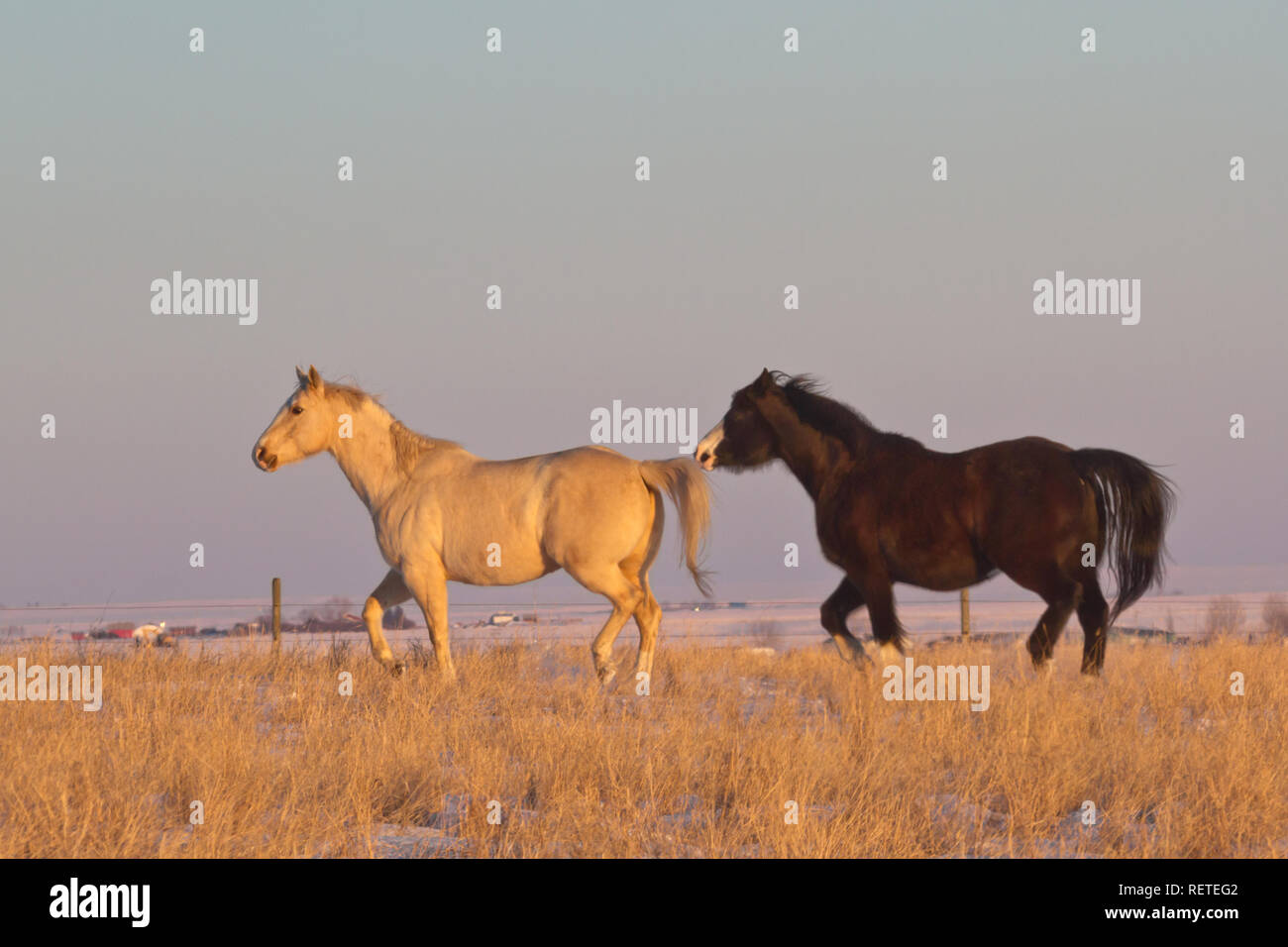 Side view as pair of beautiful, spirited horses run in pasture in late winter evening light, with setting sun casting a warm glow. Room for text. Stock Photo