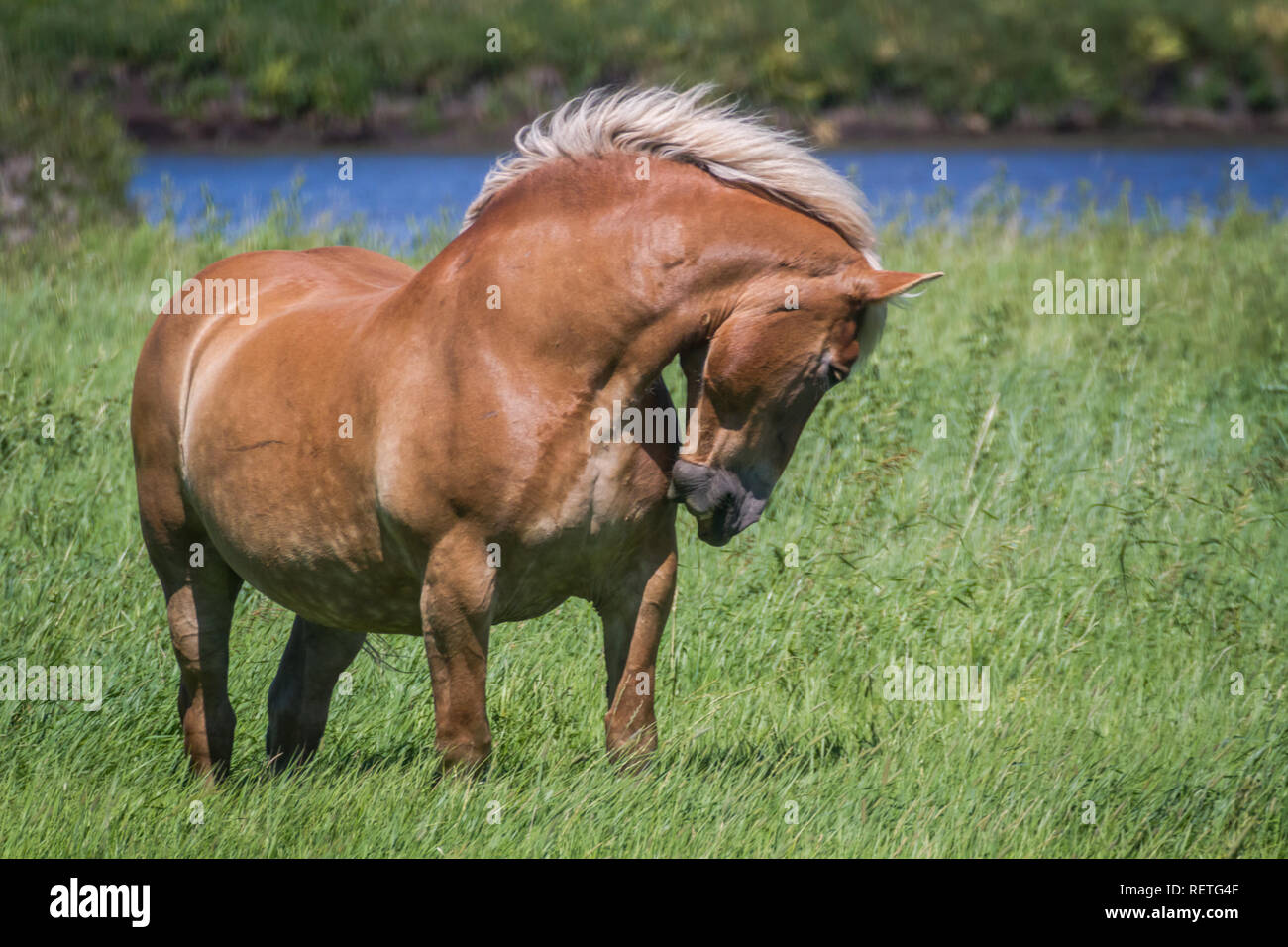 Beautiful, spirited, lively horse struts its stuff in pasture with lush deep green grass and water in rural Alberta, Canada. Stock Photo