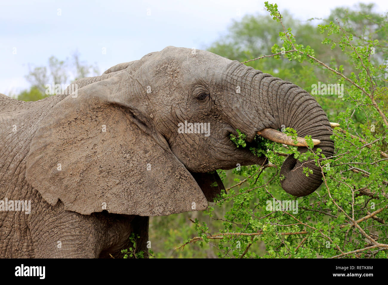 African Elephant, adult feeding portrait, Sabi Sand Game Reserve, Kruger Nationalpark, South Africa, Africa, (Loxodonta africana) - Stock Image
