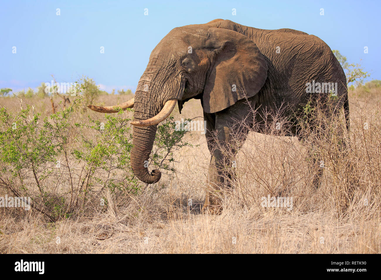 African Elephant, adult male,, Sabi Sand Game Reserve, Kruger Nationalpark, South Africa, Africa, (Loxodonta africana) - Stock Image