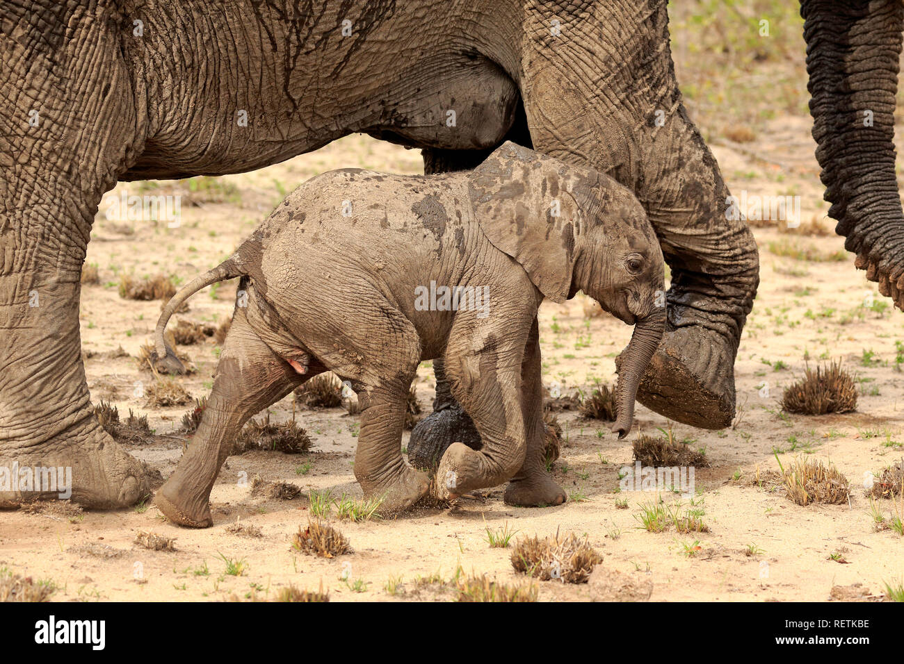 African Elephant, adult female with young, Sabi Sand Game Reserve, Kruger Nationalpark, South Africa, Africa, (Loxodonta africana) - Stock Image