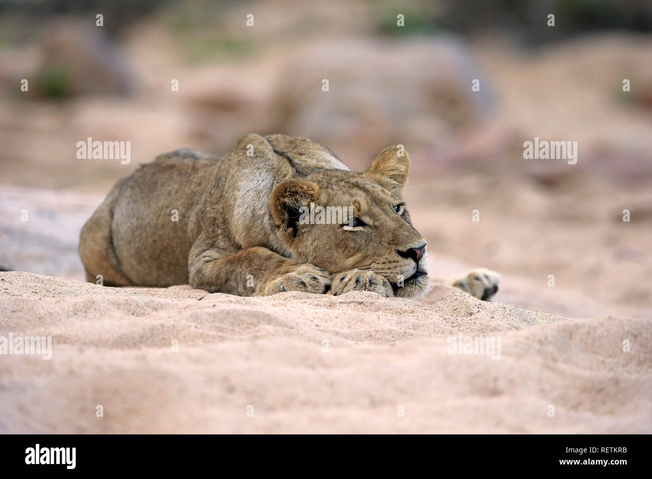 Lion, adult female in dried out riverbed, Sabi Sand Game Reserve, Kruger Nationalpark, South Africa, Africa, (Panthera leo) - Stock Image