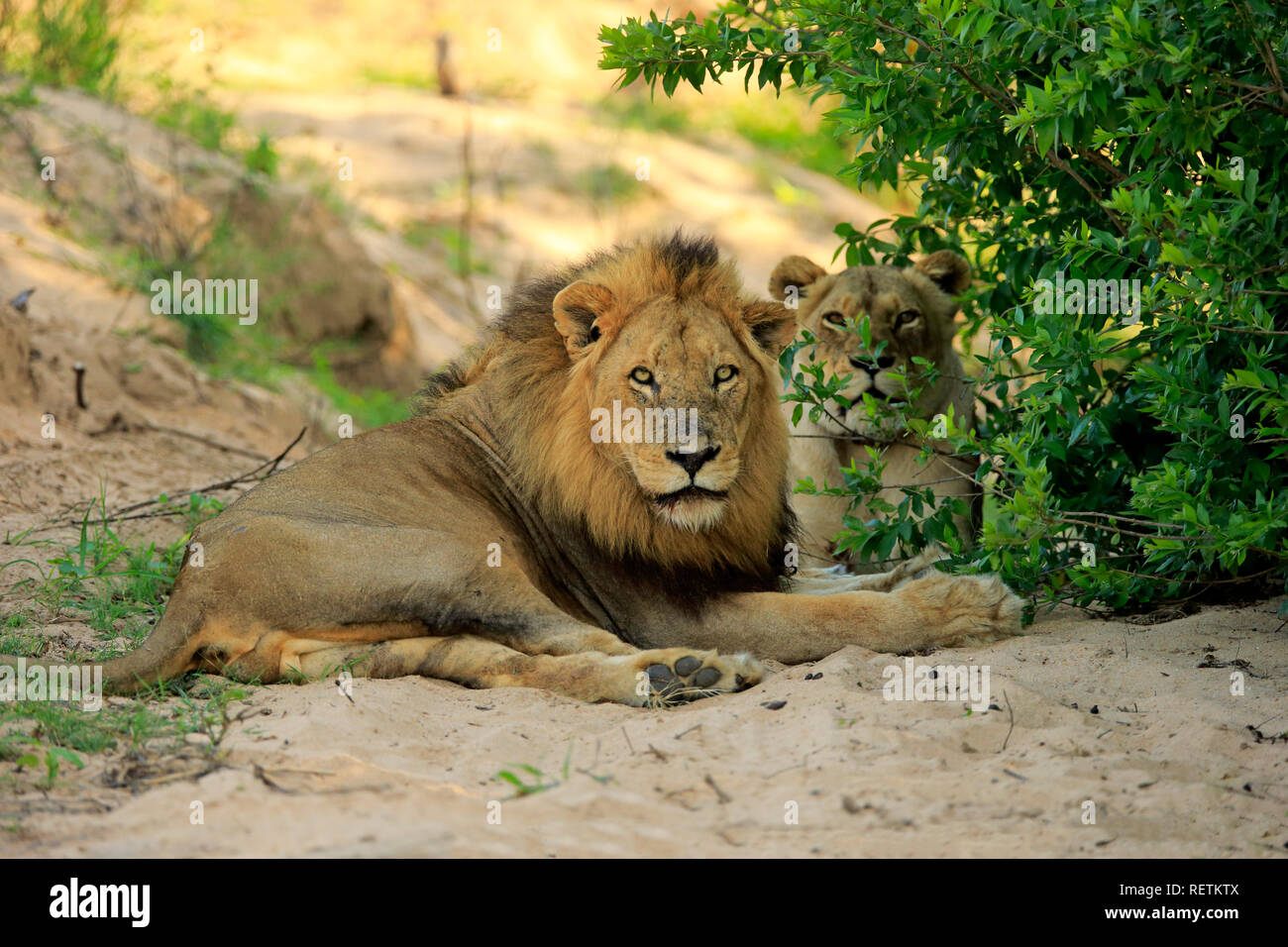 Lion, adult couple in dried out riverbed, Sabi Sand Game Reserve, Kruger Nationalpark, South Africa, Africa, (Panthera leo) - Stock Image