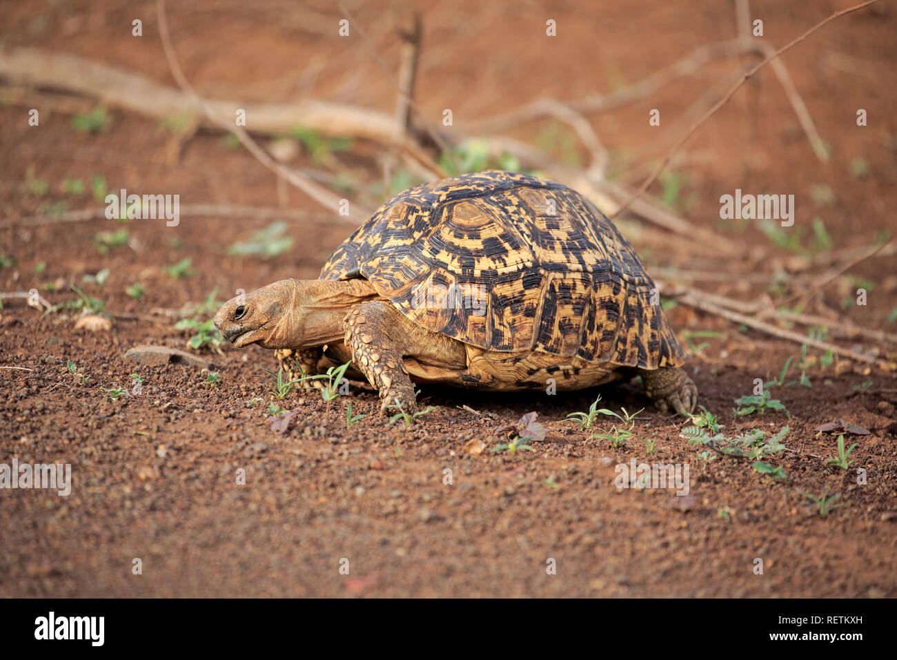 Leopard Tortoise, adult feeding, Kruger Nationapark, South Africa, Africa, (Testudo pardalis) - Stock Image