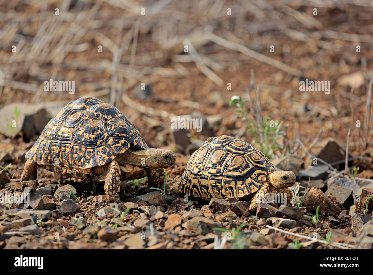 Leopard Tortoise, adult couple, Kruger Nationapark, South Africa, Africa, (Testudo pardalis) - Stock Image
