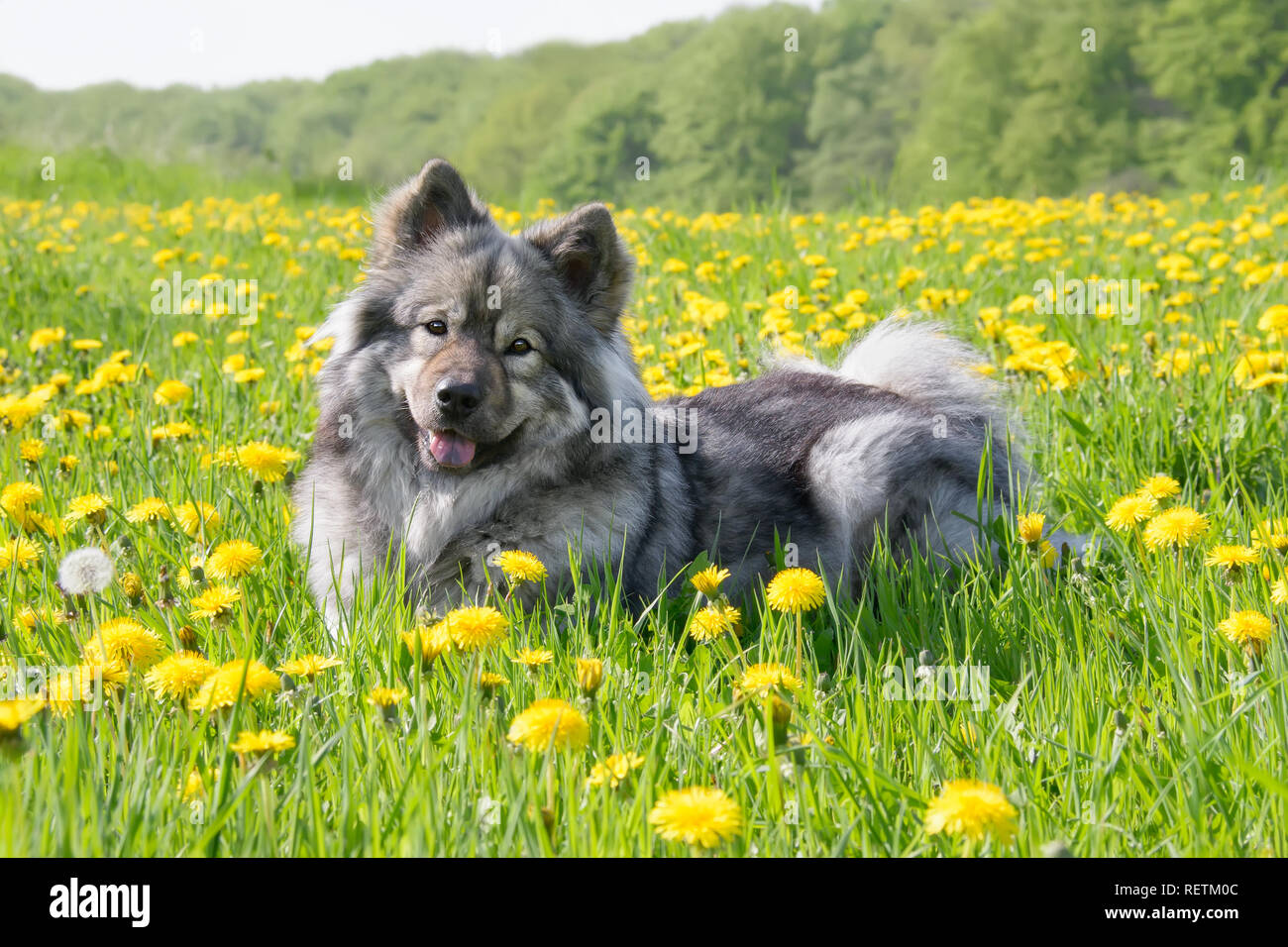 A cute Eurasier dog (Spitz type) is lying in a meadow with yellow dandelion flowers on a sunny day in spring - Stock Image