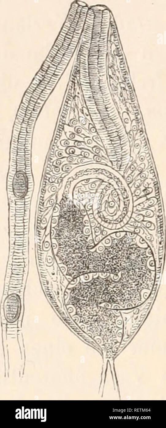 . Dr. H.G. Bronn's Klassen und Ordnungen des Thier-Reichs : wissenschaftlich dargestellt in Wort und Bild. Zoology. 706 Platlielminthes: I. Tretnatodes. Abschnitt der Leitiiiigswege dar, der in melir oder weniger deutliche, spiralige Windungen zusammengelegt und strotzend mit Sperma gefüllt ist, vorausgesetzt, dass man Thiere auf der Höhe der geschlechtlichen Functionen untersucht. Bei Distonmm lanceolatum zeigen die Wandungen dieser Samenblase Längs- und Eingmuskeln, jedoch in lockerem Gefüge; nach Innen folst eine dünne cuticulaartige Membran und eine Lage von relativ grossen. Kerne führende - Stock Image