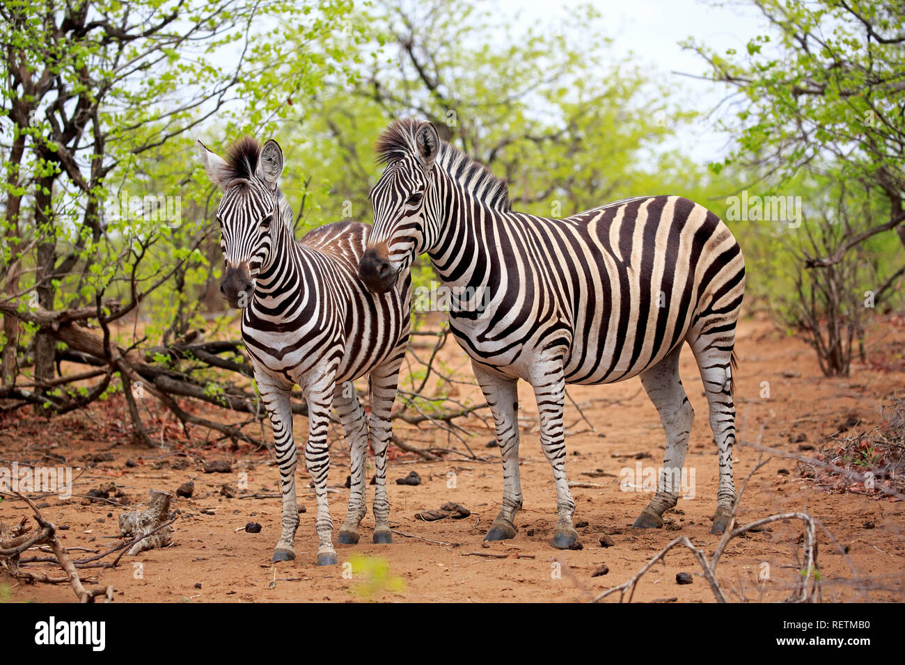 Plains Zebras, Kruger Nationalpark, South Africa, Africa, (Equus quagga burchelli) - Stock Image