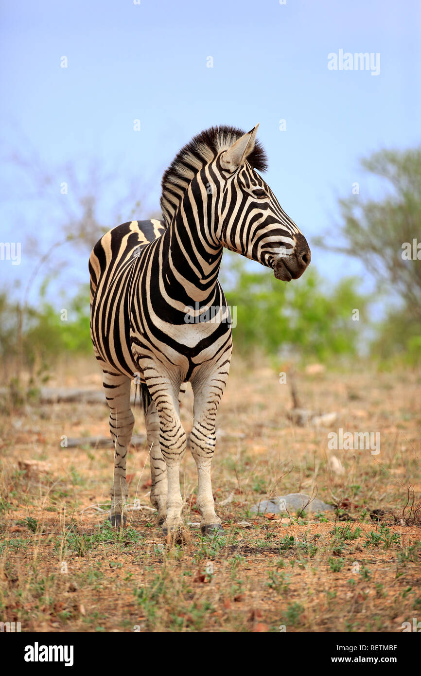 Plains Zebra, Kruger Nationalpark, South Africa, Africa, (Equus quagga burchelli) - Stock Image