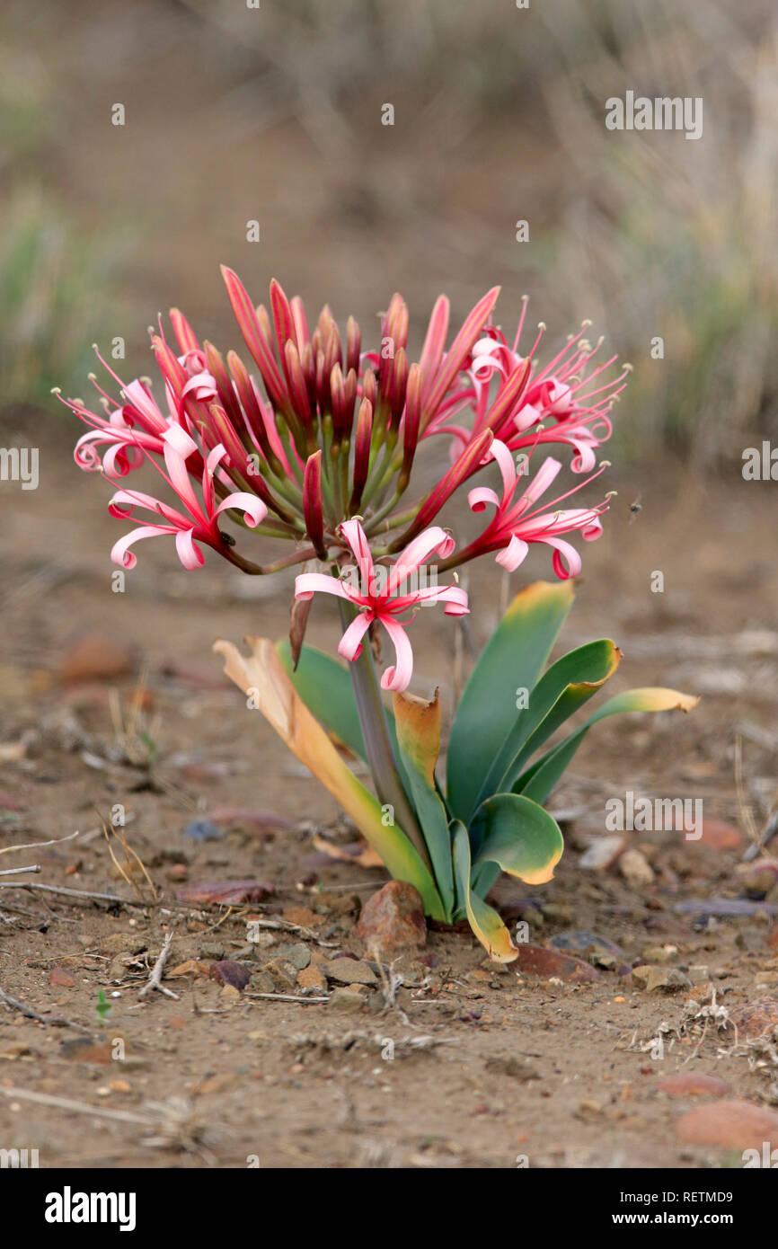 NEW African Queen medium-size bulb Crinum Lily