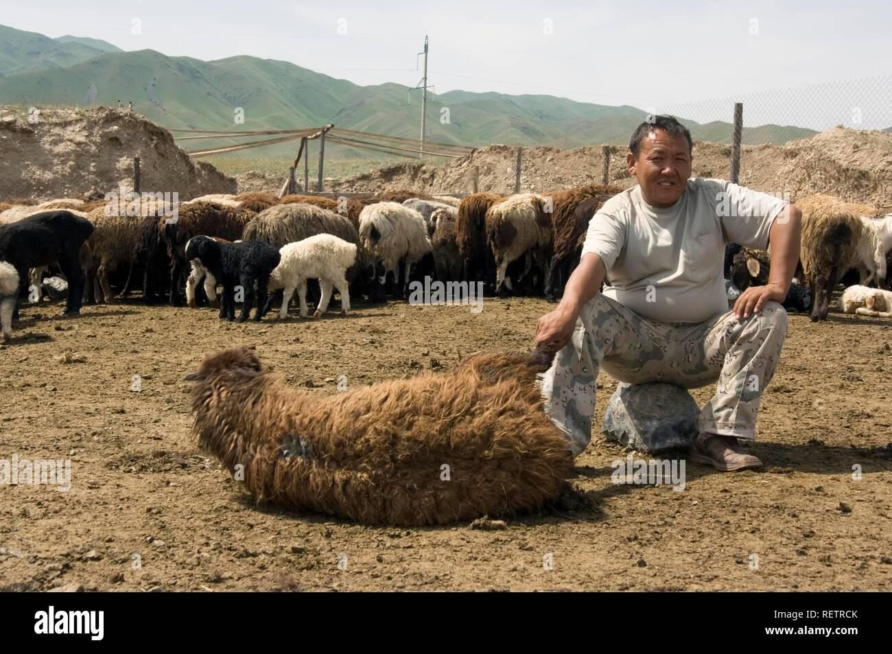 Sheep shearing, Kyrgystan - Stock Image