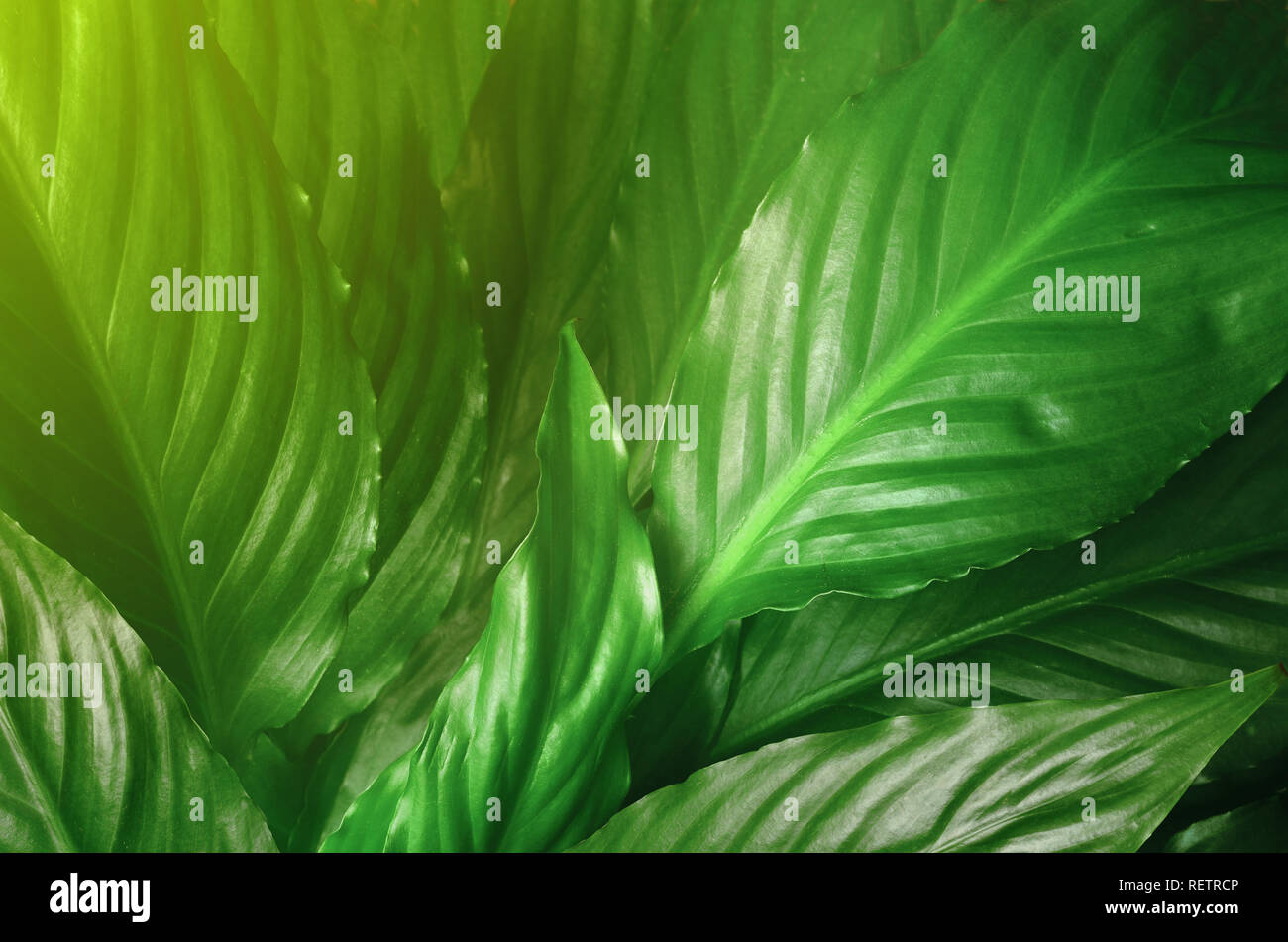 Green Leaves background,Creative layout made of green leaves. Flat lay. Nature concept. Stock Photo