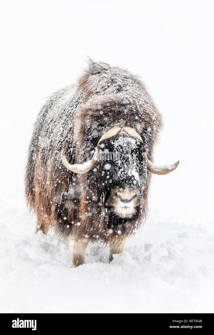 Muskox, Ovibos moschatus, in a winter snowstorm, captive animal, Manitoba, Canada. - Stock Image