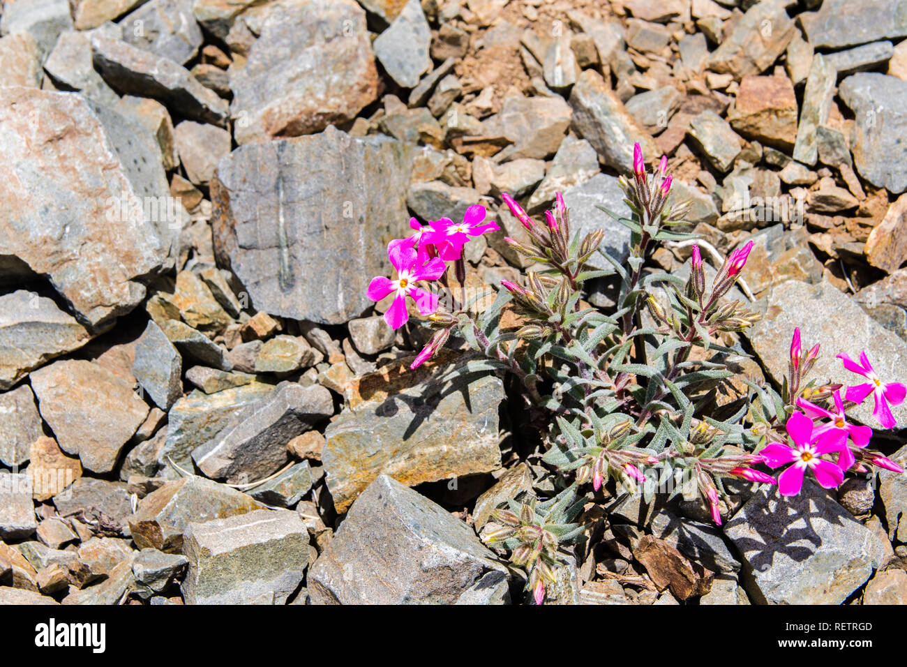 Cold desert phlox (Phlox stansburyi) growing at high altitude, in the mountains of Death Valley National Park, California - Stock Image