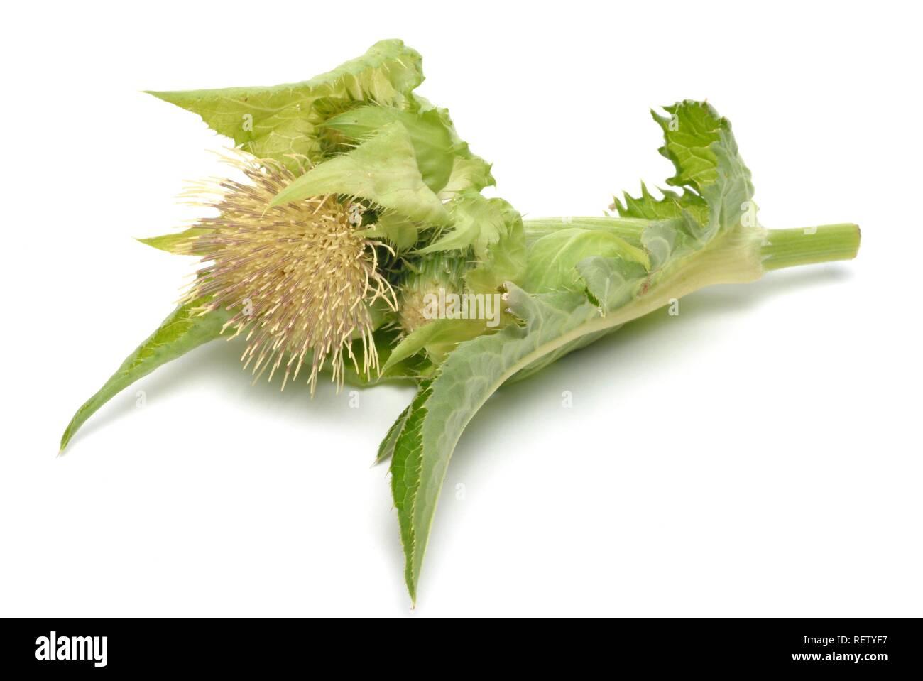 Cabbage Thistle (Cirsium oleraceum), blossom, medicinal plant - Stock Image