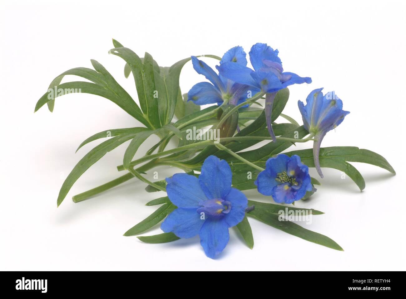 Forking Larkspur (Consolida regalis, Delphinium consolida, Speronelle consolida), medicinal plant - Stock Image