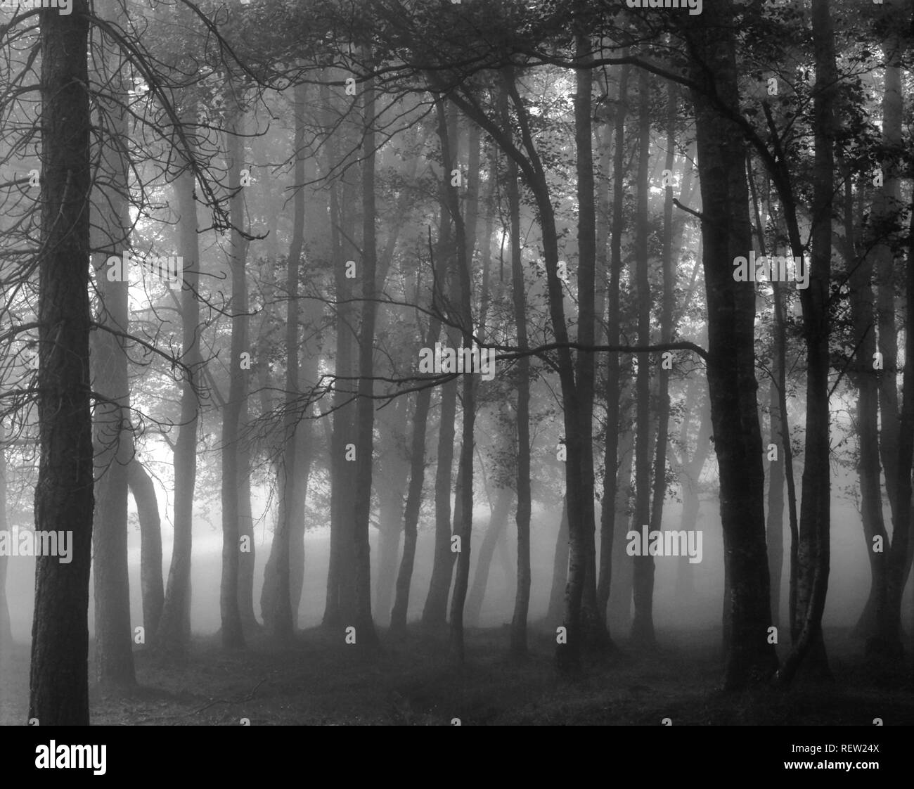 Foggy woods from Peneda Geres National Park, north of Portugal. Converted black and white.((Analog photography. Slide 120) - Stock Image