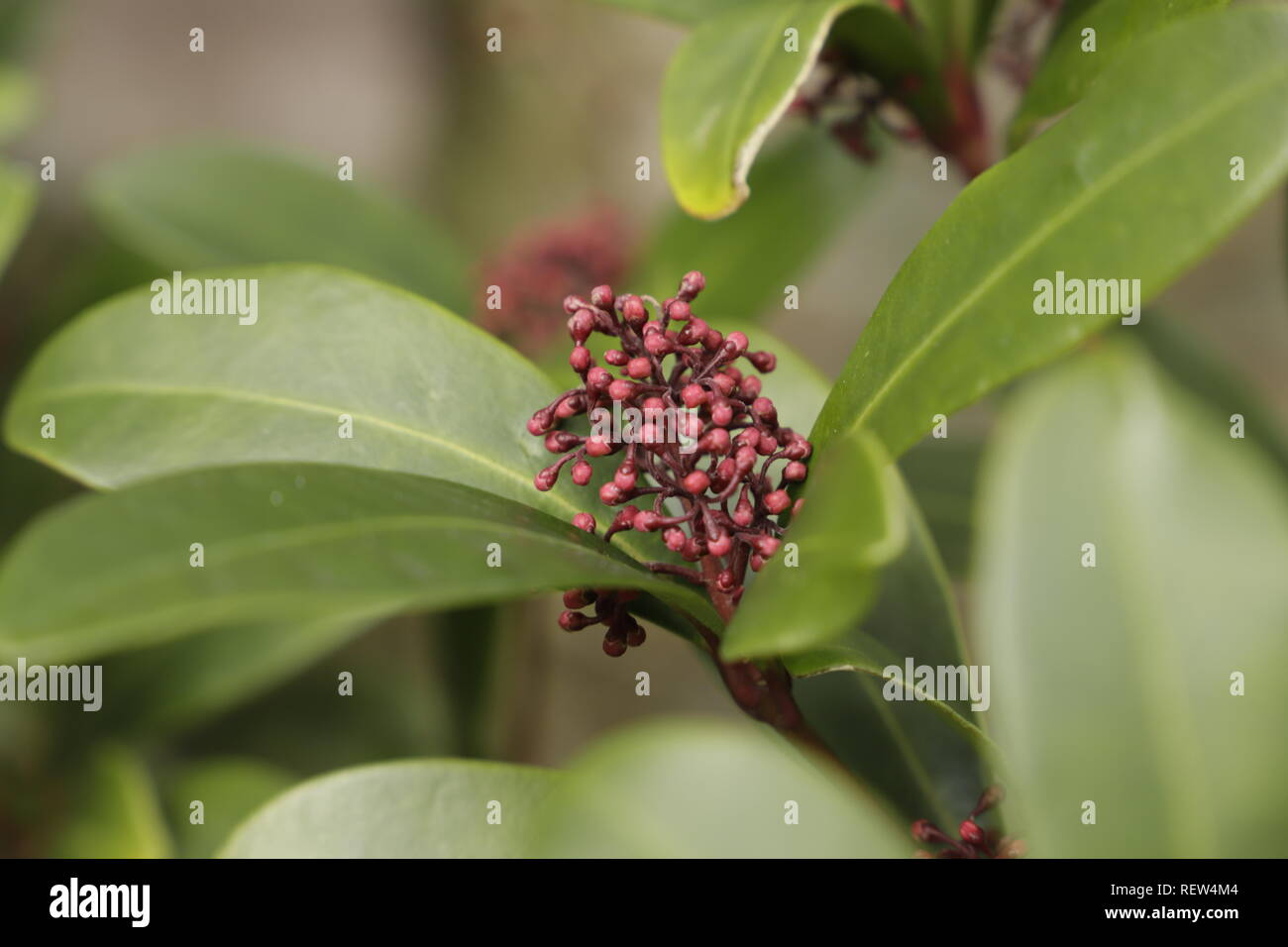 Skimmia is a very popular plant for it's red flower buds and beautiful green leaves - Stock Image
