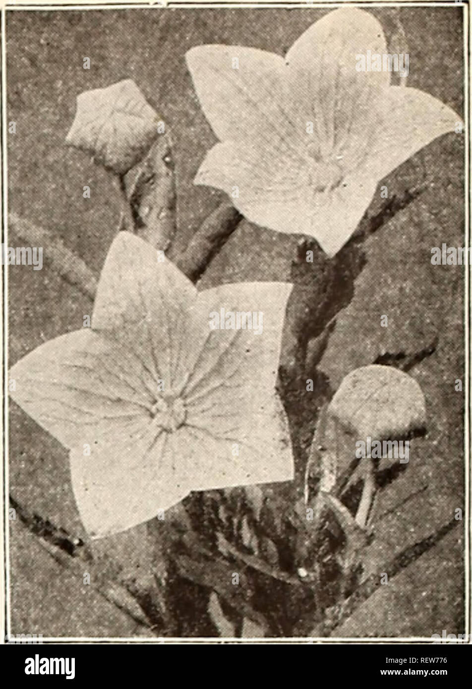 50 PINK OBEDIENT PLANT False Dragon Head Flower Seeds