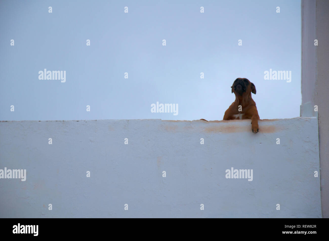 Brown big dog howls on the roof, white walls, simple background - Stock Image