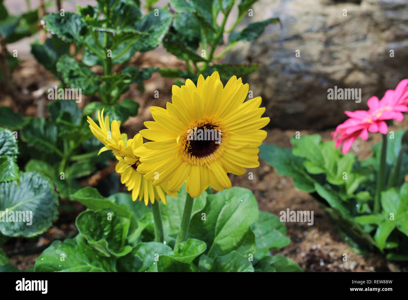 Closeup of a yellow Gerbera Daisy, Transvaal Daisy, in full bloom in a rocky garden in the spring - Stock Image