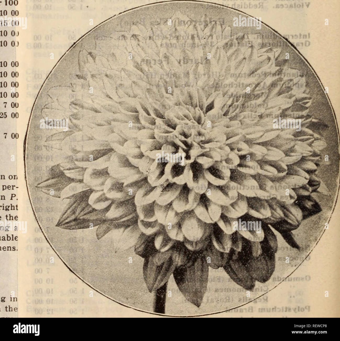 . Dreer's wholesale price list / Henry A. Dreer.. Nursery Catalogue. HELIOPSIS SCABRA ZINNIAFLORA Gunnera. 10 OJ Scabra. Fine strong plants in 5-inch pots of this grand foliage plant. 35 cents each; $3.50 per dozen. ORNAMENTAL GRASSES AND BAMBOOS. These are now used very extensively for beds, specimens on lawns, etc., etc. We grow the leading varieties in large quantities. For full descriptions, see pages 192 and 193 of our Garden Book for 1914. Grasses. Per doz. Per 100 Arundo Donax. Strong, dormant eyes $1 50 $10 00 Donax Varie8:ata. Strong, dormant eyes 2 00 15 00 Arrhenatherum Bulbosum fol Stock Photo
