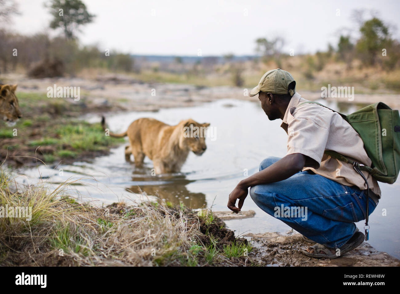 Mid-adult man crouching beside a lion on a pond. Stock Photo