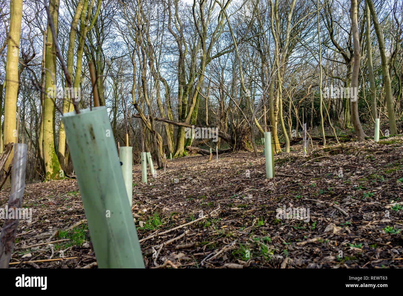 managed woodland in winter - Stock Image