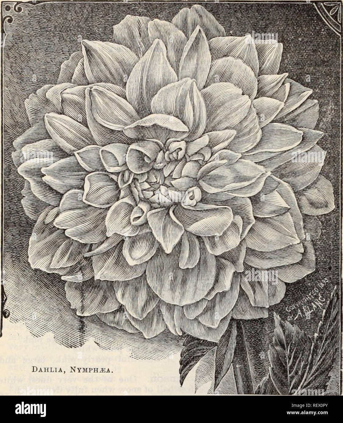 . Dreer's wholesale price list / Henry A. Dreer.. Nursery Catalogue. 30 DREER'S WHOLESALE PRICE LIST.. Dahlia, Nymphjsa Eighteen Grand Cactus Dahlias. Celestine. Yellow, suffused with orange, giving a rich golden yellow effect. Countess of Pembroke. Pure delicate rosy lavender, flowers of raedium size, of perfect form and extremely profuse bloomer. Empress of India. Deep rich maroon, a fine flower. Q-ilt Edge. Entirely distinct from all others, each petal having a golden yellow edge with white centre. Kynerith. Brilliant vermilion, shading to a lighter shade at base of petals. Lemon Giant. Pur - Stock Image