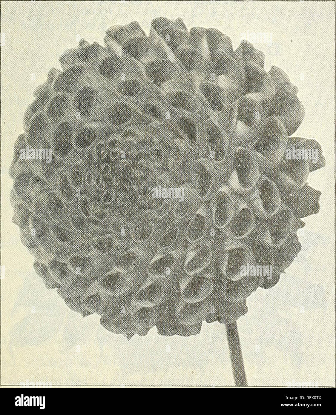 . Dreer's wholesale price list : tools, fertilizers, insecticides, sundries, etc. Bulbs (Plants) Catalogs; Flowers Seeds Catalogs; Vegetables Seeds Catalogs; Nurseries (Horticulture) Catalogs. WHOLESALE PRICE LIST. 11 Twenty Choice Decorative Cactus Dahlias. Admiral Dewey. Brilliant imperial purple of fine form. Black Beauty. A grand deep maroon. Bronze Beauty. Reddish bronze, large flower. Celestine. Yellow suffused with orange. Countess of Pembroke. Soft, delicate rose. Clifford W. Brutton. A superb yellow. Oloriosa. Deep bright red, shaded scarlet. Iridescent. A brilliant iridescent red. Ma - Stock Image