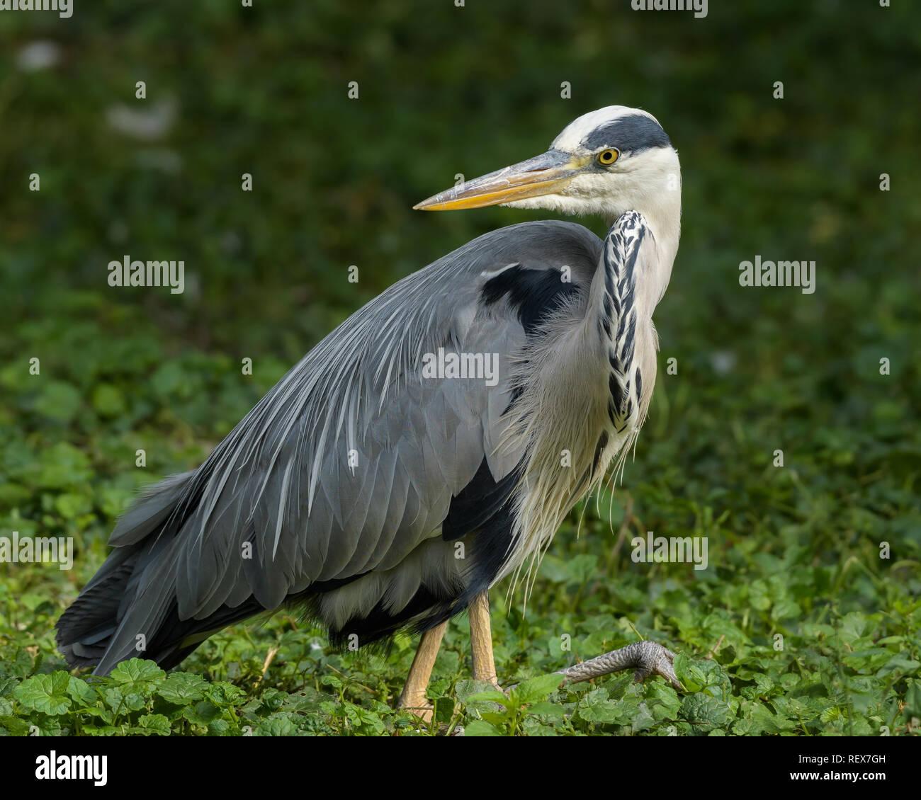 The grey heron, Ardea cinerea Stock Photo